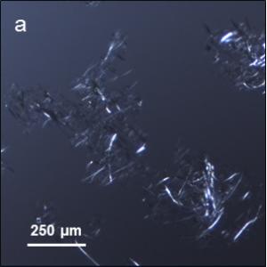 fibres kraft traitées avec l'enzyme LPMO et soumises au traitement mécanique observées en microscopie optique