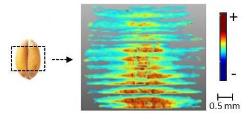 Image en 3D des hémicelluloses dans l'albumen de blé