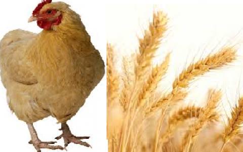 poulet, blé