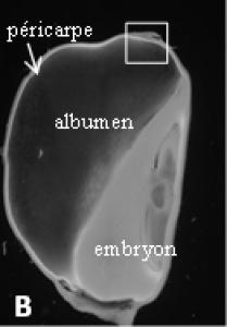 coupe longitudinale de grain observé au  macroscope à fluorescence
