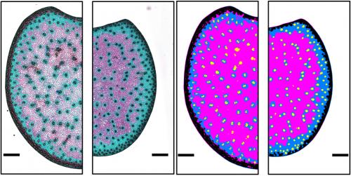 Coupes colorées au FASGA d'un même génotype cultivé sous deux conditions d'irrigation