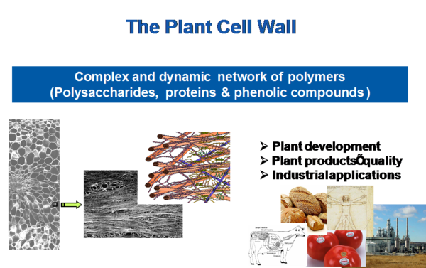 Paroi cellulaires des plantes
