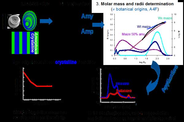 caractérisation de la structure de l'amidon