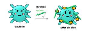 cellulose et bacterie_0