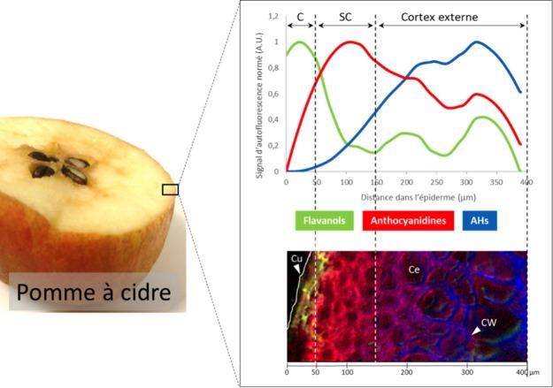 composés phénoliques-pomme