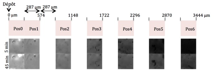 Top line: Images positioning. Middle line: Images of the enzyme in the gel 5 min after the deposit. Bottom line: Images of the enzyme in the gel 45 min after the deposit.