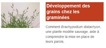 developpement-grains-graminees