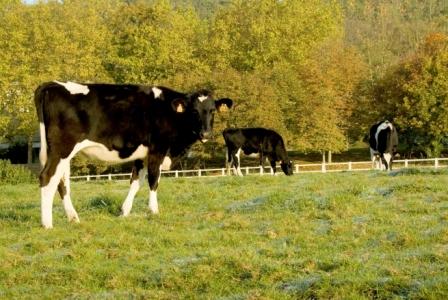 Maîtrise de la paratuberculose bovine