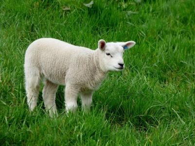 Réapparition de la fièvre catarrhale ovine
