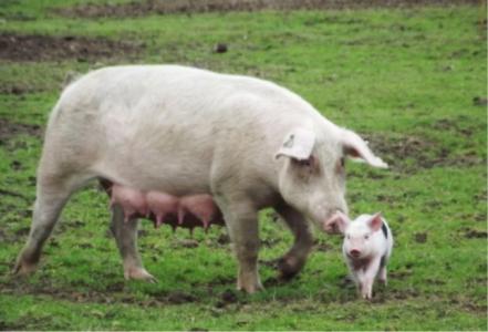 Réduire l'usage des antibiotiques en élevage porcin…