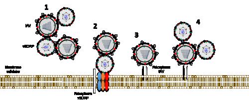 Différents types d'interactions possibles entre l'IAV et le vSDRP. 1) L'IAV et le vSDRP peuvent se fixer l'un à l'autre hors de la cellule ou, 2) et 4), à l'autre virus lorsqu'un des deux virus a adhéré à sa cellule cible. Le virus grippal peut aussi interagir avec son récepteur sans être influencé par le vSDRP