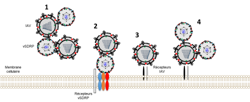 Different types of interactions between IAV and vSDRP are possible. 1) IAV and vSDRP can bind to each other outside the cell or, 2) and 4), to the other virus when one of the two viruses has adhered to its target cell. The influenza virus can also interact with its receptor without being influenced by vSDRP