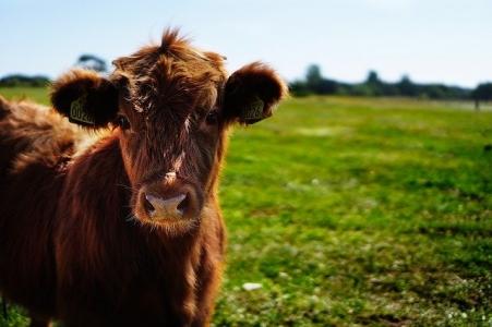 Syndromes respiratoires multi-pathogènes chez les jeunes bovins