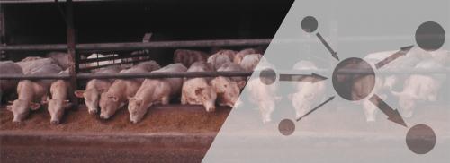 Jeunes bovins au centre de tri d'Ancenis, géré par Ter'Elevage, avec une représentation schématique des mouvements de jeunes bovins, depuis trois éleveurs naisseurs différents, vers un centre de tri, puis deux engraisseurs.