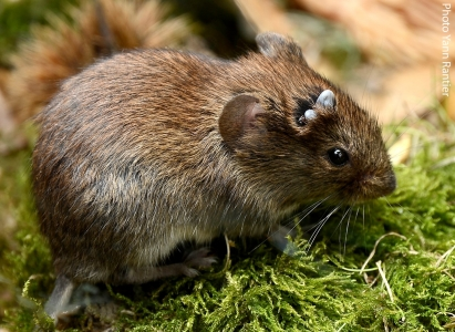 Ticks gorged on the head of a bank vole, one of the most common small rodent species in our agro-ecosystems.  Photo Yann Rantier (OSCAR project).