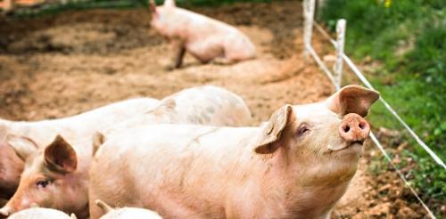 Le porc, nouvel allié des chercheurs en immunologie © Shutterstock