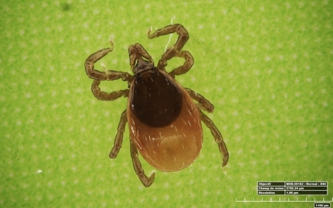 Which genes are expressed in ticks?