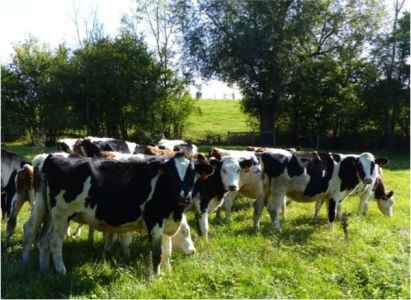Selective anthelmintic treatment in dairy heifers