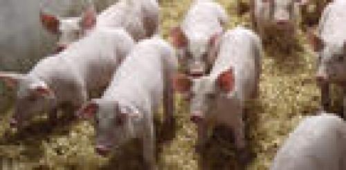portage_de_campylobacter_par_les_porcs