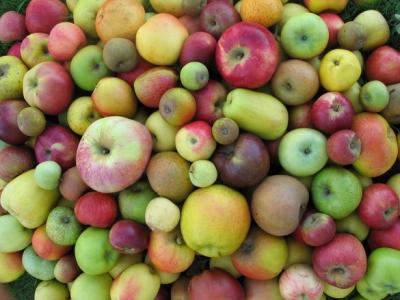 Les variétés anciennes de pommes montrent une diversité de taille, de forme, de couleur et d'aspect