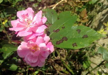 Tache noire rosier