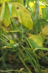 Xanthomonas et graisse commune du haricot
