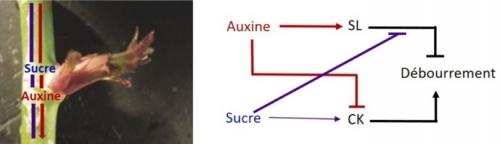 Architecture des plantes : contrôle du nombre d'axes