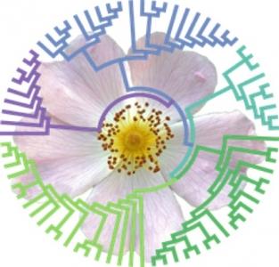 Des nouveaux marqueurs pour la phylogénomique des rosiers