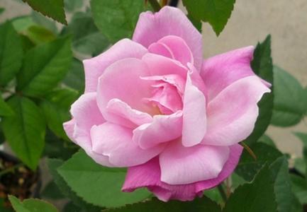 rose old blush