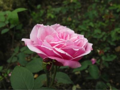 Old Blush, ancien rosier chinois introduit en Europe