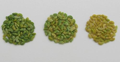 Qualité des graines de légumineuses