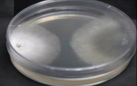 Identification of efficient biocontrol agents