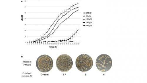 Déterminisme du pouvoir pathogène d' Alternaria brassicicola