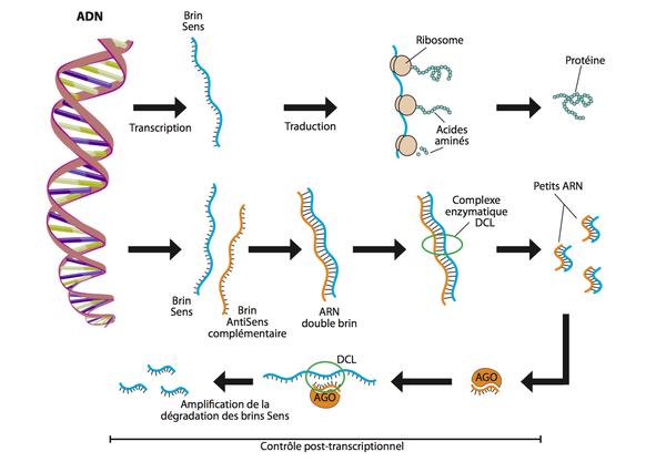 controle post-transcriptionnel