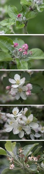 Stades de floraison du pommier