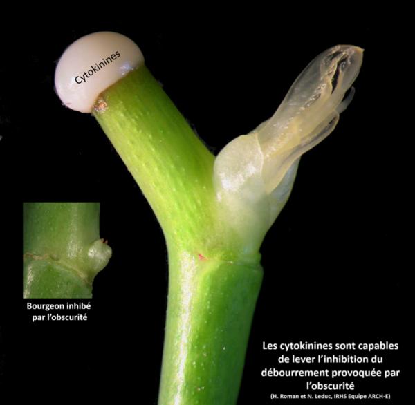 inhibition du bourgeon et cytokinines