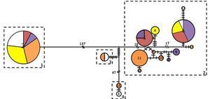 réseau haplotypique
