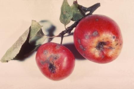 taches et déformations sur fruit et feuilles dues à la tavelure du pommier