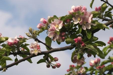 Floraison du pommier