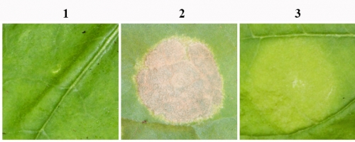 Feuille de Nicotiana benthamiana inoculées avec :  1 : de l'eau, 2 : une souche non-pathogène de Xanthomonas, et 3 : une souche non-pathogène de Xanthomonas dans laquelle les gènes codant un système de sécrétion de type 3 ont été apportés. La souche non-pathogène provoque une réaction de défense après injection : la réaction hypersensible : nécrose de la zone inoculée. L'apport d'un système de sécrétion de type 3 dans la souche non-pathogène permet de supprimer cette réaction de défense.