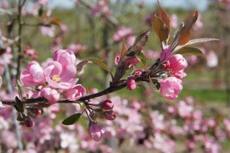 Floraison du pommier et réchauffement climatique