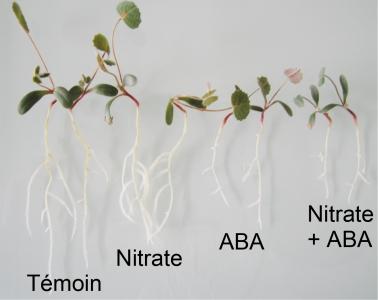 Croissance des racimes des plantes selon l'apport en nitrate
