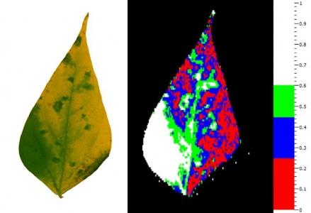 Feuille de haricot présentant des symptômes de graisse commune. L'imagerie de fluorescence de chlorophylle a permis de sélectionner automatiquement les symptômes et de discriminer entre les tissus très altérés (rouge), modérément altérés (bleu) et peu altérés (vert). Les tissus sains sont présentés en blanc.