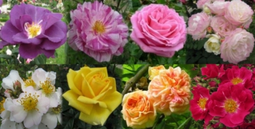 RosesMonde : Création, patrimonialisation et marchandisation dans le monde des roses