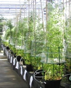 Culture de porte graines de différents ecotypes de Medicago truncatula