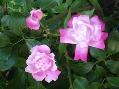 RosaScent : biosynthèse des terpènes du parfum chez la rose [ANR]