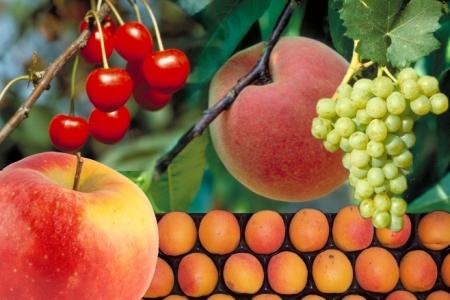FruitSelGen : évaluation de la sélection génomique chez les espèces fruitières
