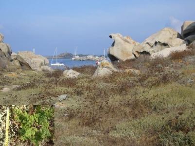 Population de Daucus commutatus en Corse