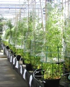 Culture of different ecotypes of Medicago truncatula