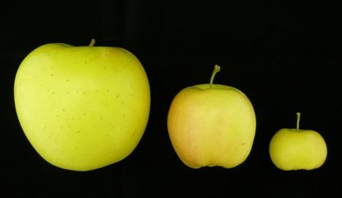 Le génome et l'épigénome de la pomme décodés